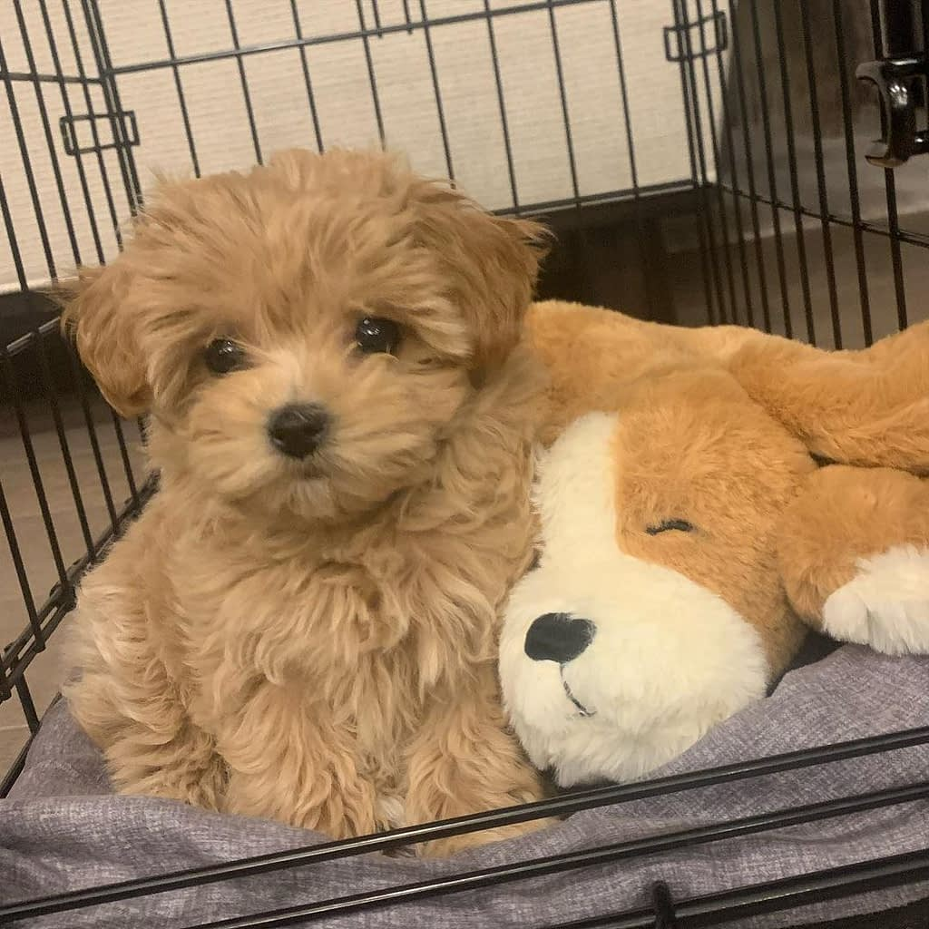 Available Cheap maltipoo puppies for adoption