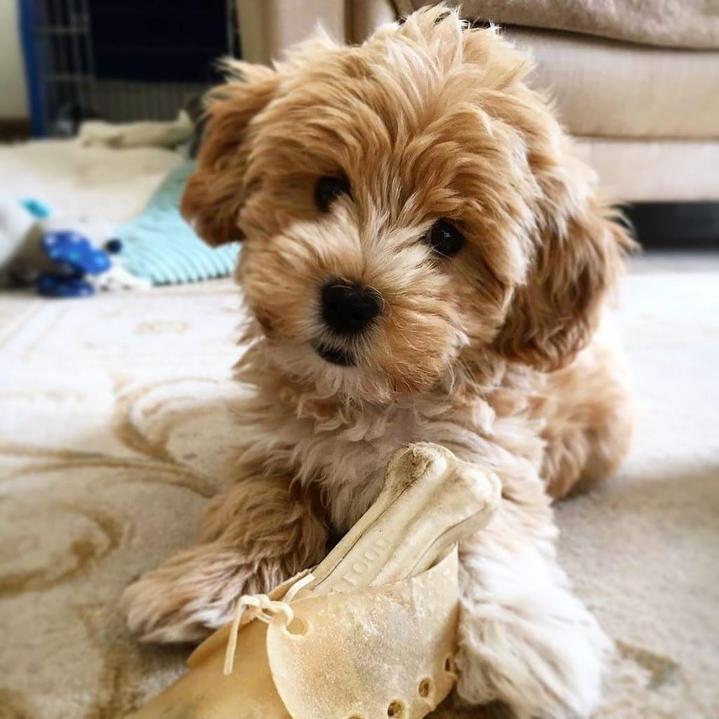 best maltipoo breeder puppies for sale