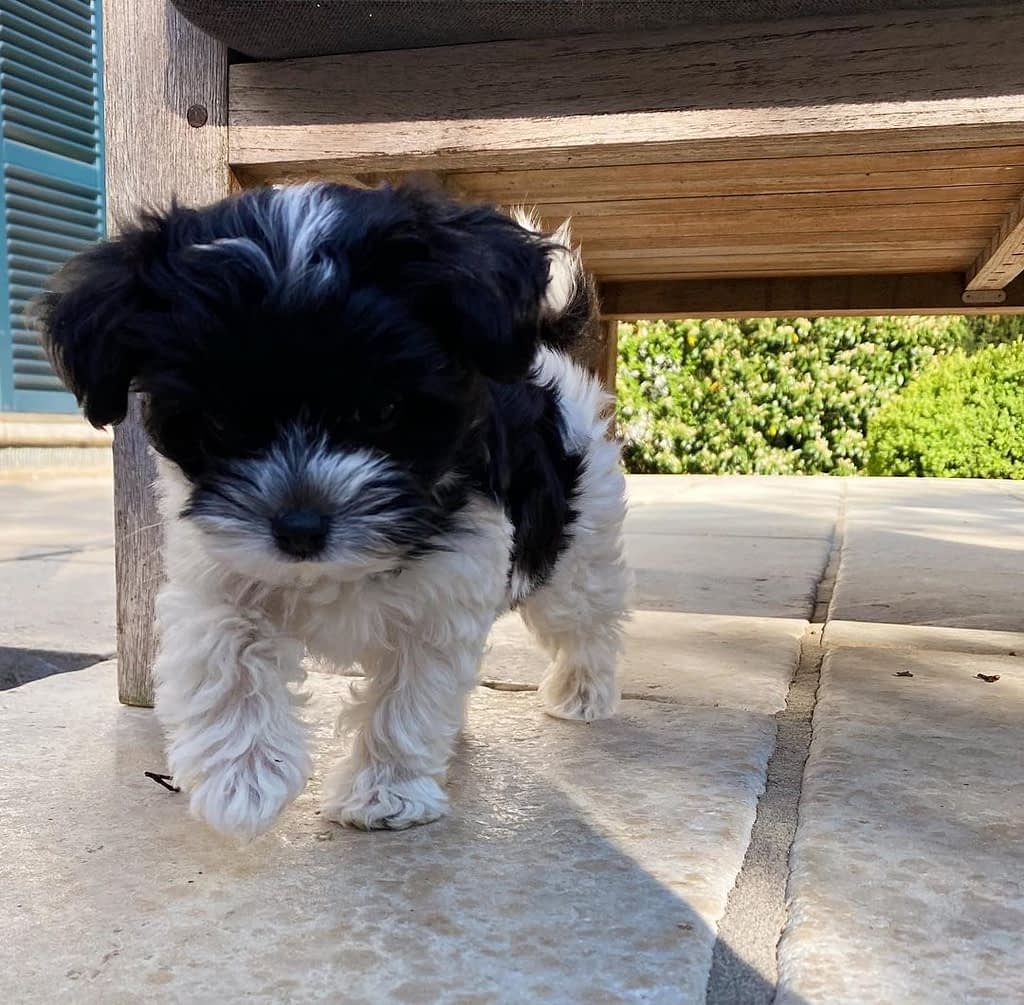 Cheap maltipoo puppies for sale near me